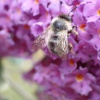 Anthophora furcata | Fork Tailed Flower Bee