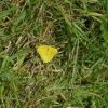 Colias croceus | Clouded Yellow